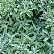 Sage Herb 100 Seeds - GARDEN FRESH PACK! by Hirts: Seed; Herb. $1.39. Salvia officinalis. Days to Maturity: 2nd Year. Heirloom. 2-3 ft. Hardy Perennial. Full Sun to Partial Shade. HERBS: Treat yourself to fresh herbs right from your garden! The difference when home grown is impressive! All are excellent for adding distinctive flavor to meat, and fish dishes, gravies, soups, salads and vegetables. They are fun to grow and make an attractive garden addition!* Garden Sage ...