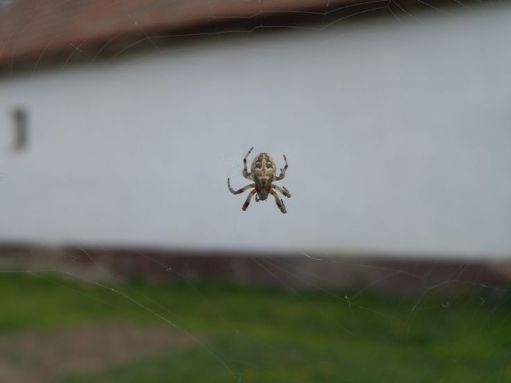 Cross spider , Keresztespók