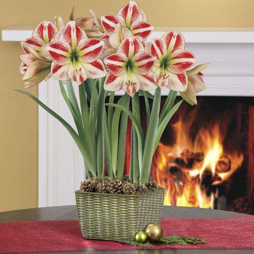 158 best images about amaryllis amaryllidaceae for Amaryllis christmas decoration