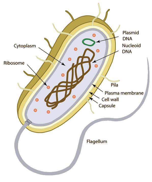 Here we have a Prokariotic cell, and its characteristics, from the inside to the outside of it. This is a rare cell, because it does not have defined organelles, so we need to know everything about them.