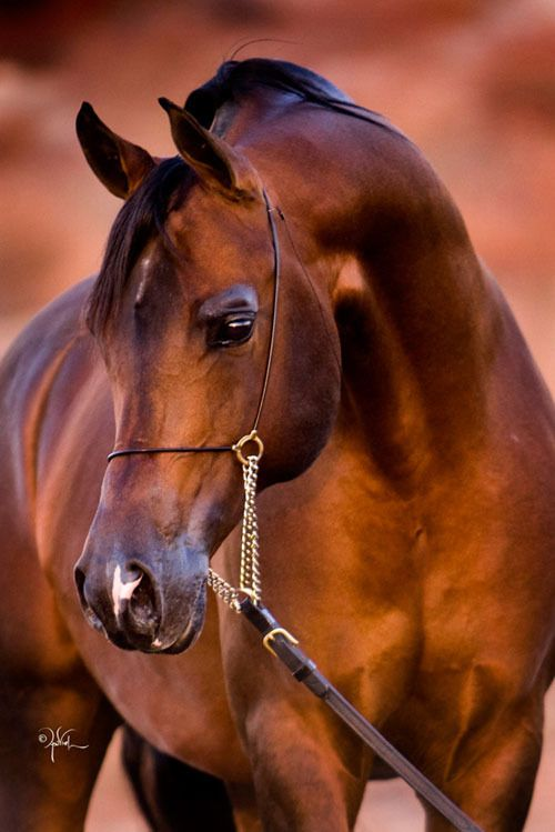 Arabhorse.com - Feather Arabians - Horse