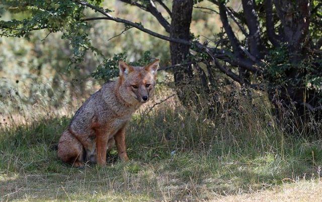 Fegueian fox - Tierra del Fuego National Park