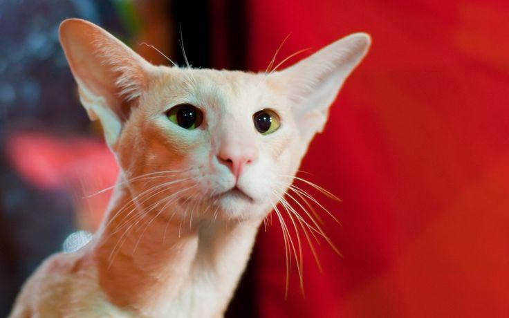 Gatos Peterbald. GatosMania.com