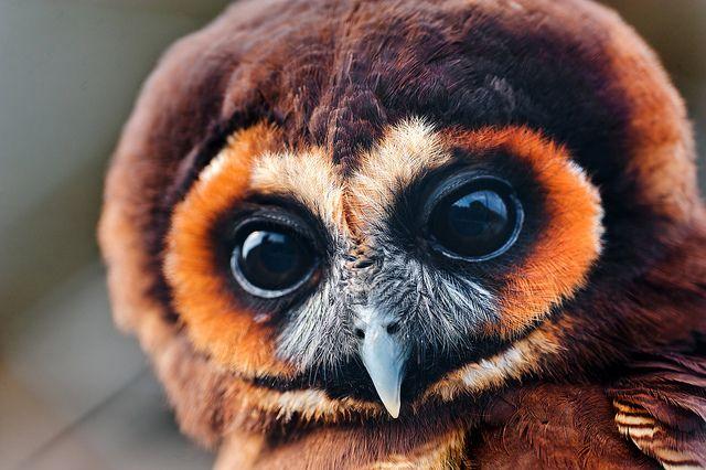 Pretty brown owl by Tambako the Jaguar, via Flickr