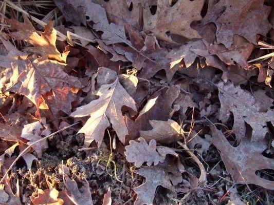 foglie di rovere e quercia rossa