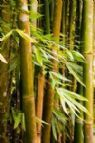 Growing bamboo from cuttings involves planting a part of the stem vertically in the ground. The cutting should include two and a half undamaged internodes. With a little bit of care, you can have a beautiful plant for yourself. Read on to know how!