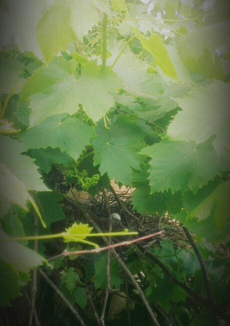 A dove's egg in the grapes.