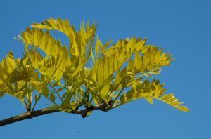 This Locust Tree Won't Plague You With Messy Pods: Sunburst honey locust has golden leaves.