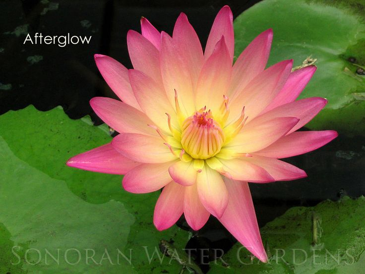 'Afterglow' Apricot/Rosy-Yellow Tropical Water Lily Garden Pond Plant Waterlily  #SonoranWaterGardens