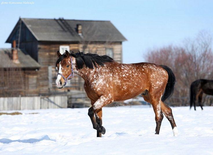 Pretty snowflake appaloosa ... in the snow.