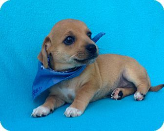 Burbank, CA - Dachshund/Chihuahua Mix. Meet Reed, a puppy for adoption. http://www.adoptapet.com/pet/17046208-burbank-california-dachshund-mix