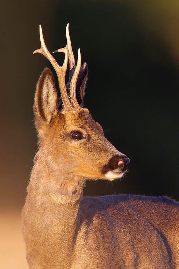 Rehbock  42 - Ein schoener Moorbock, Capreolus capreolus, Roebuck  42 - A fine bog buck