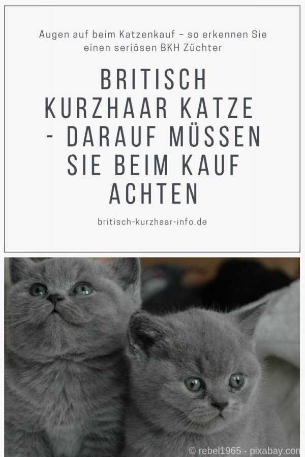 Augen Auf Beim Katzenkauf So Erkennen Sie Einen Seriosen Bkh Zuchter Bkh Britischkurzhaar Britischkurz Kurzhaar Katzen Bkh Katzen Katze Britisch Kurzhaar
