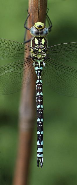 L'Æschne bleue (Aeshna cyanea) est un insecte odonate européen de la famille des Aeshnidae. Elle se rencontre typiquement en lisière de bois et le long des rangées d'arbres ensoleillés (même en ville), près des eaux stagnantes de toutes dimensions et de toute sorte.  Partout présente en France, elle est l'espèce la plus courante du genre Aeshna en Europe centrale.