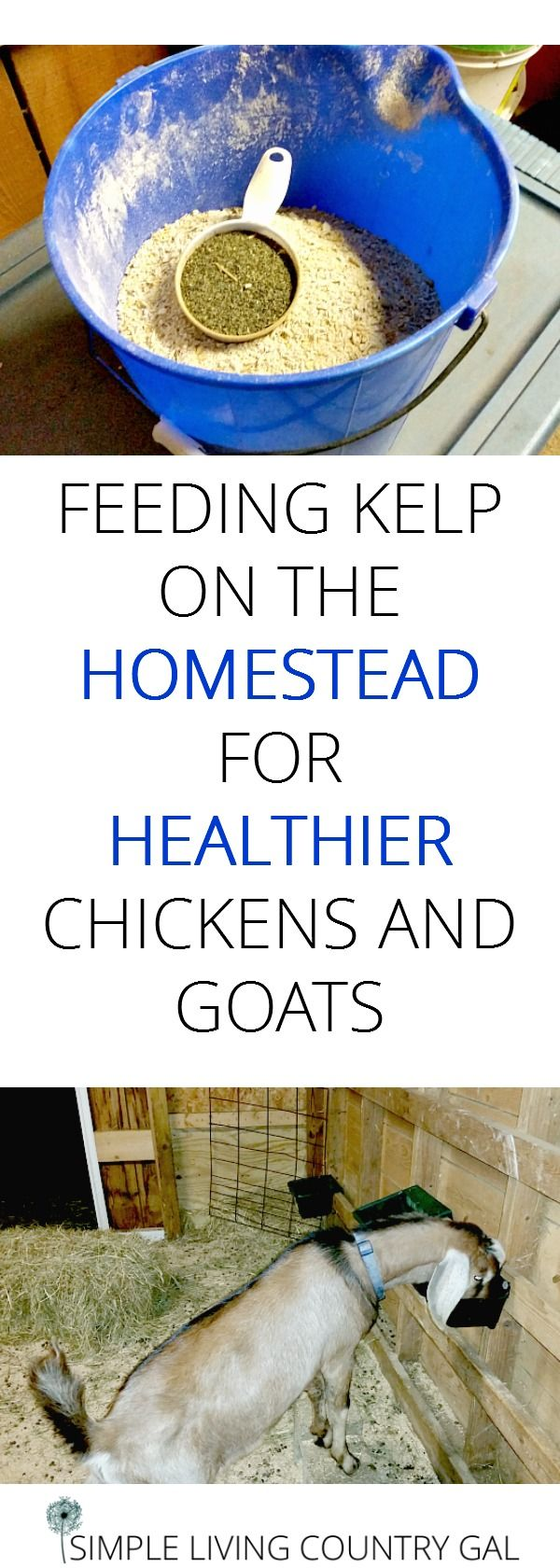 Using kelp on the homestead is a great way to boost the immune systems of your goats and chickens. But that's not all, click to learn all the health benefits of kelp.  #kelp #goats #chickens