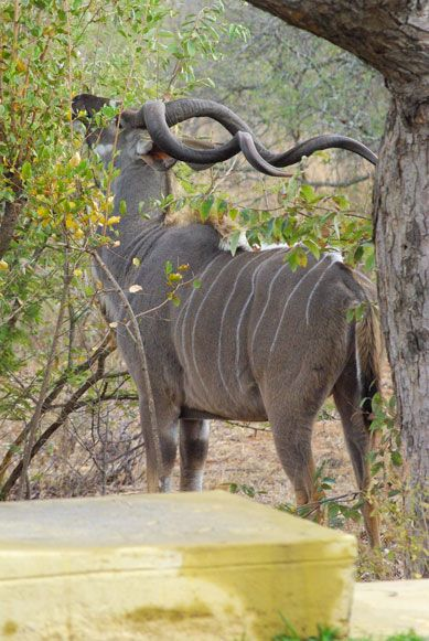 Kudu Bull grazing next a home on a Wildlife Estate in Hoedspruit