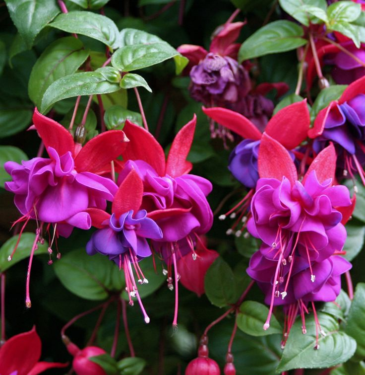 Best Hanging Basket Flowers For Hummingbirds : Best images about fuchias and care on shade