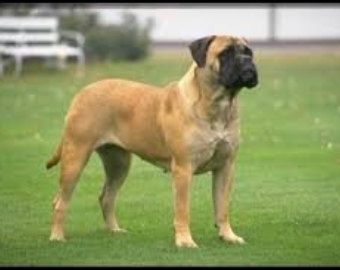 ETSY: English Mastiff - Owning & Training Your New Best Friend - http://dunway.us/kindle/html/english_mastiff.html