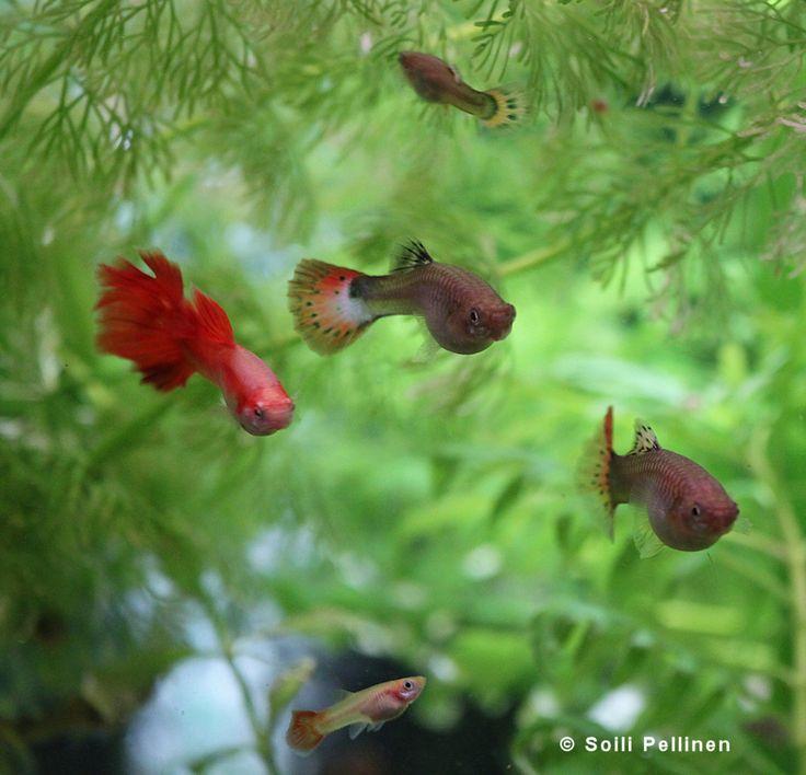 Akvaariokalat - Miljoonakala (Poecilia reticulata) - Luontokuvat