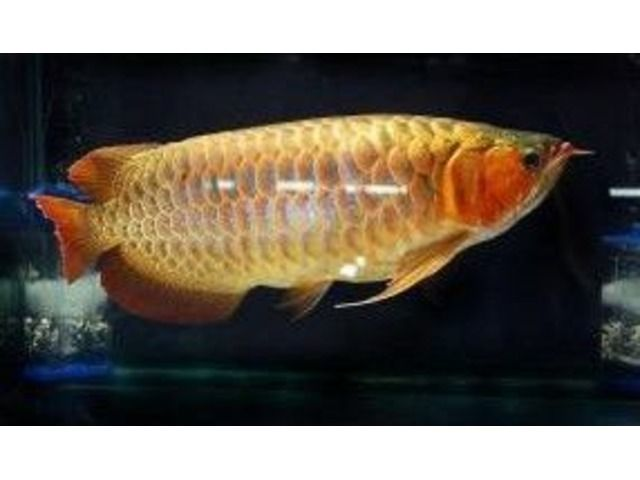 BEST QAULITY SUPER RED AROWANA FISHES FOR SALE