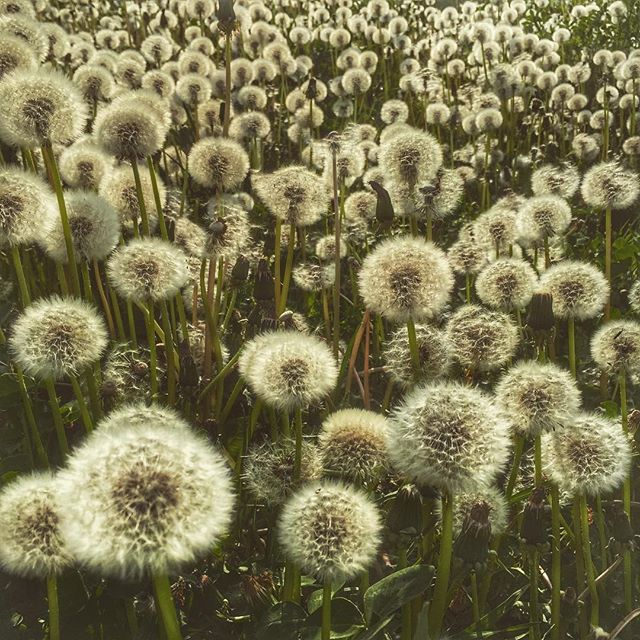 Dandelions are an important food source for bees. Taken by Alison Pentland. From Off the Porch Blog at offtheporch.ca