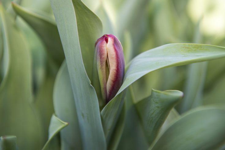 AMSTERDAM - Het Tulip-Festival in Amsterdam is gestart met 15.000 tulpen in schalen die het woord 'Paleiskwartier'vormen. Dat is de nieuwe naam van het gebied met Damrak, Dam, Rokin, Heiligeweg, Kalverstraat en Nieuwendijk. Nu nog in knop, zorgen de tulpen de komende weken voor een kleurenexplosie in dit gebied als onderdeel van Tulp Festival Amsterdam.