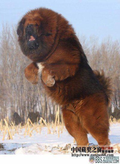 Dogues du Tibet...impressionnants, n'est ce pas ?
