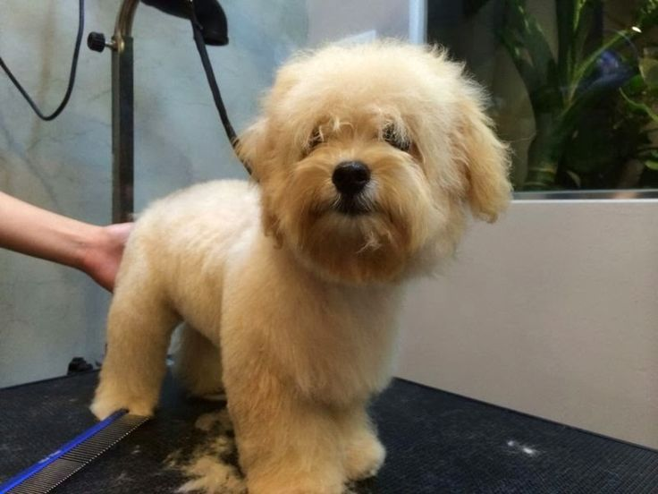 maplestory female hairstyles : maltipoo haircuts pictures ... the groom progressing, He is very ...