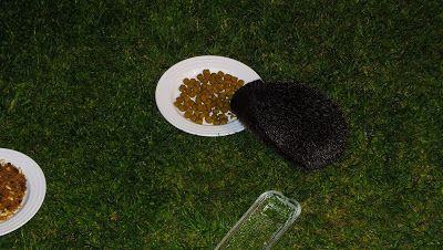 Hedgehog Watch Dublin: Hedgehog Watch 10/11 June 2015