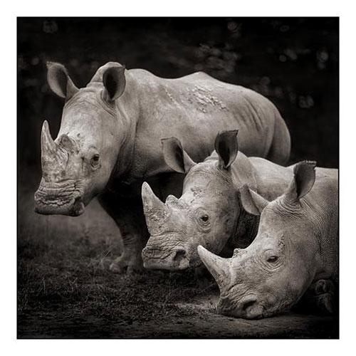 Beautiful Rhinos