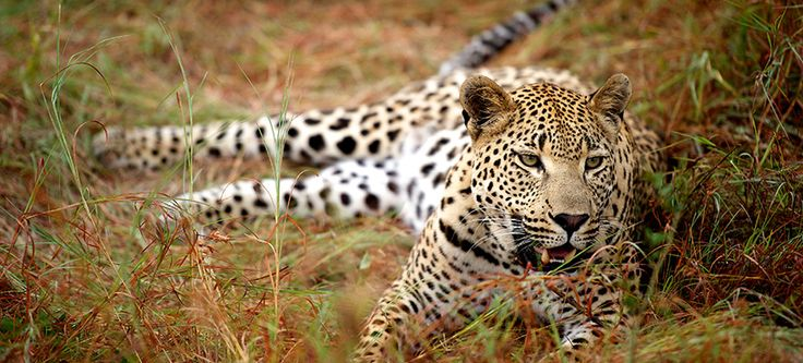 """Unparalleled  wildlife viewing in """"the heart of Big Cat country"""""""