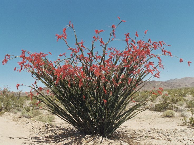 Ocotillo In Bloom In The Dessert Beauty In Nature
