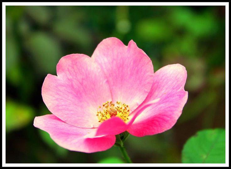 Cherokee rose for tattoo art pinterest cherokee for Cherokee rose