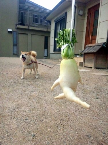 Daikon on the run