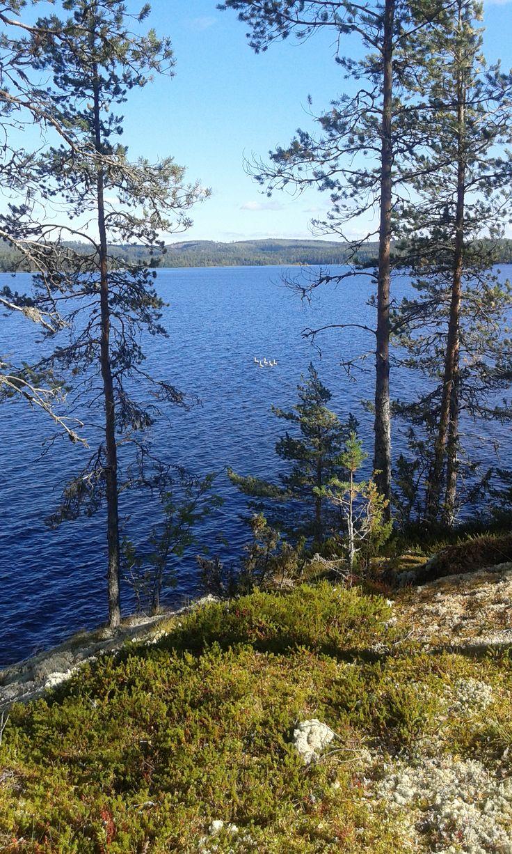 Five swans swimming in Kynsivesi, Finland.