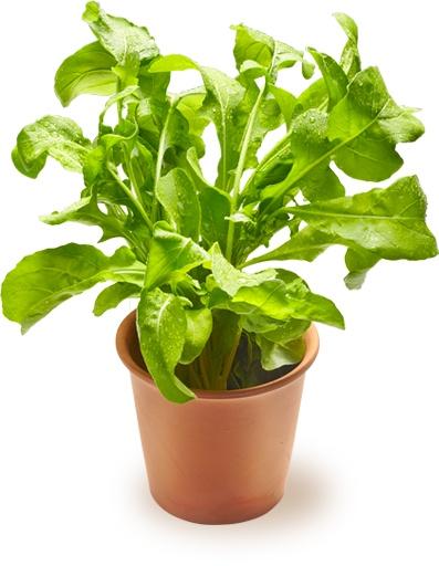 Salaattirucola | Oksasen Puutarha