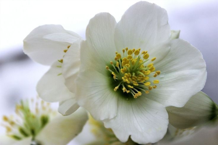 Helleborus Photo Aurora Lorente