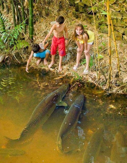 Amazonian fish. | Known as the pirarucu or arapaima in Brazil and the paiche in Peru, this South America giant is one of the largest freshwater fish in the world. Some reach lengths of more than 10 feet (3 meters) and weigh upward of 400 pounds. Large megafish like these have become rare worldwide due to heavy fishing. The arapaima is the focus of several conservation projects in South America, including no-fishing reserves and fishing quotas.