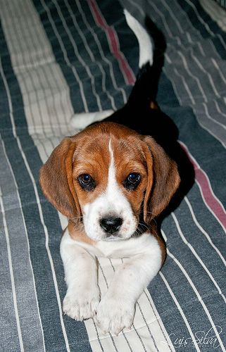 Beagle:  beagle puppies are on of the cutest things God put on 4 legs.  ;)