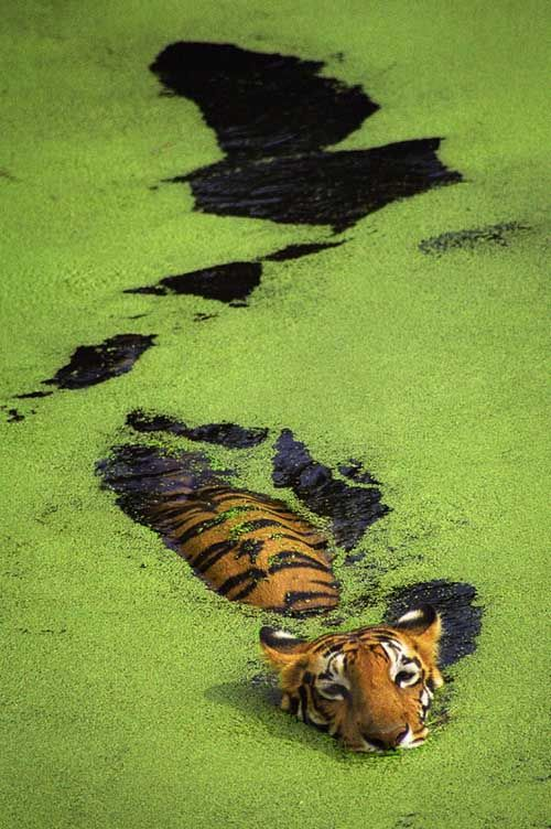 TigerCat, Wildlife Photography, Keep Swimming, Green, Nature Photography, Amazing Nature, Into The Wild, Geaux Tigers, Animal