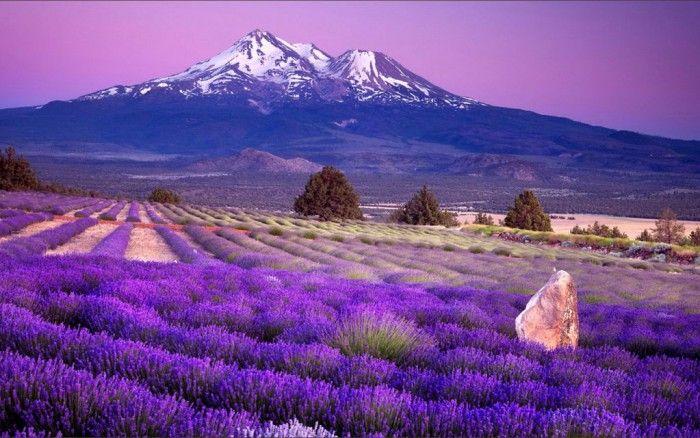 Красота Прованса. Лаванда на фото