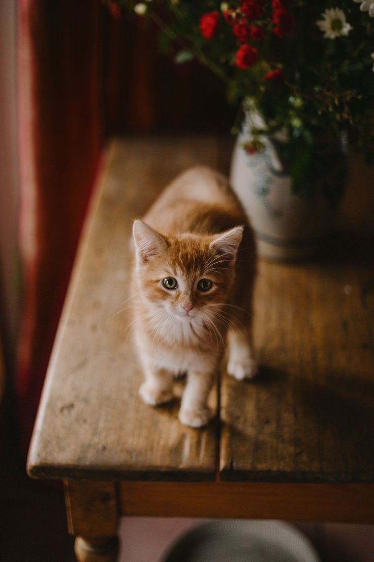 16475 best adorable cats images on pinterest animals kitty cats