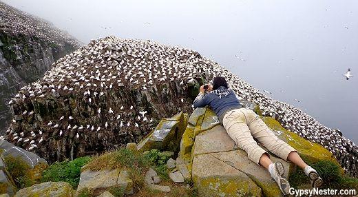 Bird Rock at Cape St. Marys in Newfoundland