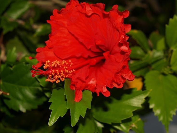 Hibiscus, Mexico