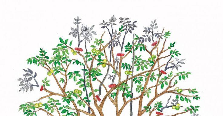 Ein Walnussbaum sollte im Spätsommer geschnitten werden, denn im Frühjahr blutet er stark. So schneiden Sie einen Nussbaum fachgerecht zurück.