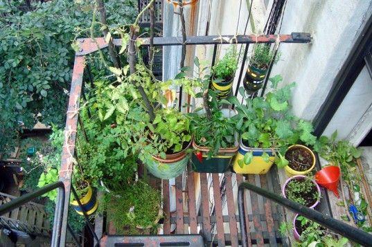 the Urban Organic Gardener grows a lush vegetable garden on his NYC fire escape!