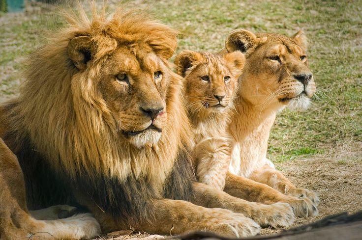 El León de la Tribu de Judá versus el León Rugiente | Ministerios ¿Quién es Jesucristo?