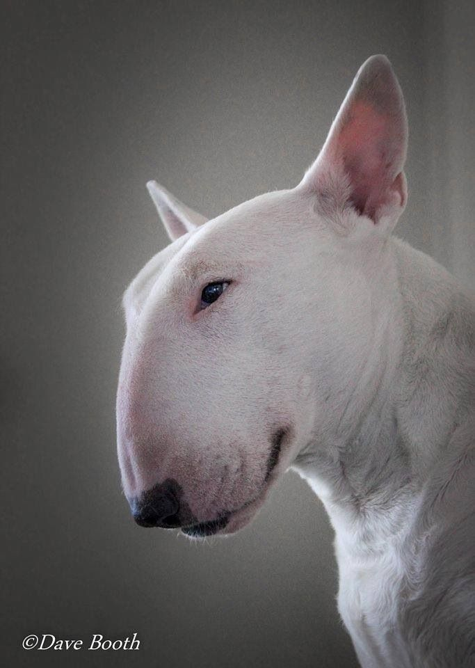 Beautiful in their difference.English bull terrier