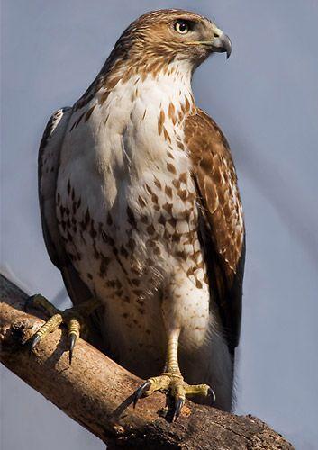Best 25 hawks ideas on pinterest red tailed hawk for Fish hawk atlanta