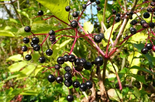 5 Must Have Elderberry Recipes